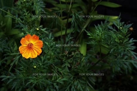 一輪の黄色い花の素材 [FYI00458532]