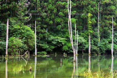 池の中の立ち枯れの木の素材 [FYI00458537]