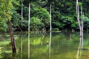 池の中の立ち枯れの木の素材 [FYI00458540]