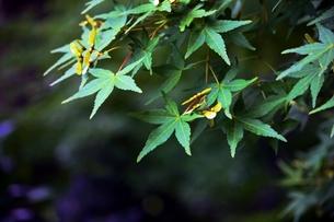 楓の葉と実の素材 [FYI00458550]