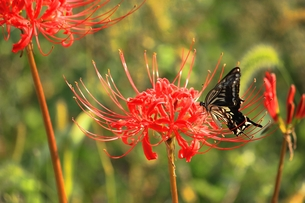 彼岸花の蜜を吸うアゲハチョウの素材 [FYI00458596]