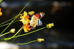 黄色い花に止まる蝶々の素材 [FYI00458622]