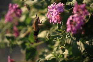 花の蜜を吸うホシホウジャクの写真素材 [FYI00458629]