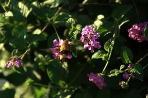 花の蜜を吸うホシホウジャクの写真素材 [FYI00458633]
