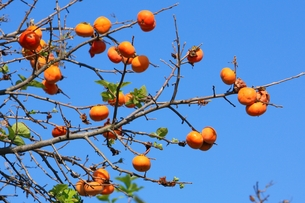 柿の実と秋空の素材 [FYI00458640]