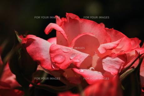 赤い花と水滴の素材 [FYI00458699]