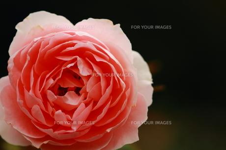 赤いバラの素材 [FYI00458701]
