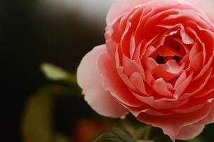 赤いバラの素材 [FYI00458702]
