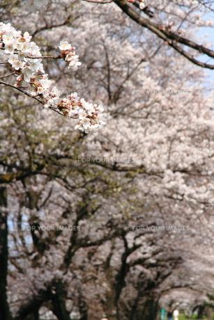 桜の枝の素材 [FYI00458747]