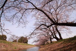 川沿いの桜並木の素材 [FYI00458750]