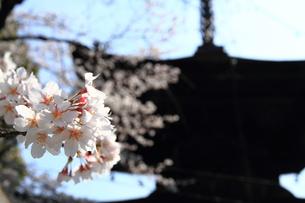 桜咲くの素材 [FYI00458751]