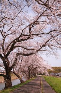 川沿いの桜並木の素材 [FYI00458753]