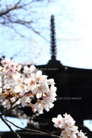 桜咲くの素材 [FYI00458758]