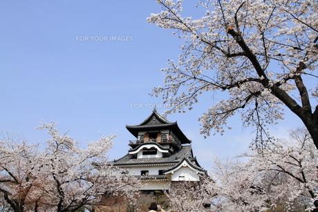 桜と犬山城の素材 [FYI00458761]