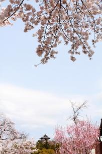 桜と犬山城遠景の素材 [FYI00458762]