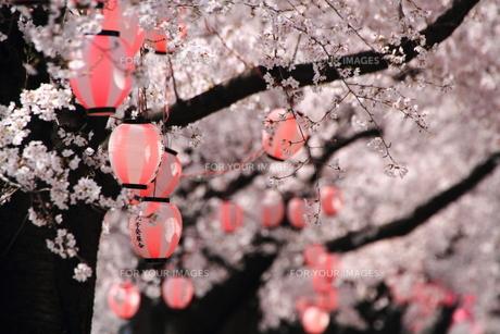 桜と提灯の素材 [FYI00458772]