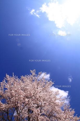 満開の桜と青空の素材 [FYI00458773]