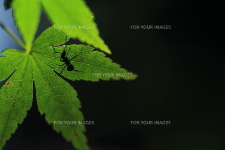 蟻と新緑の葉の素材 [FYI00458786]