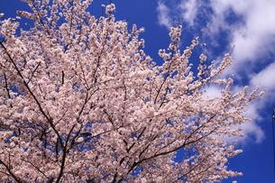 満開の桜の素材 [FYI00458788]