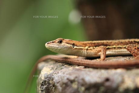 カナヘビの素材 [FYI00458791]