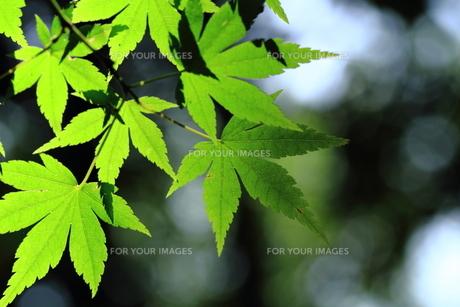 新緑の葉の素材 [FYI00458805]