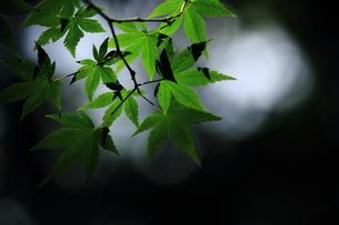 光の中で浮かび上がる新緑の葉の素材 [FYI00458808]