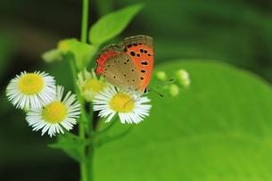 ベニシジミ蝶の素材 [FYI00458831]