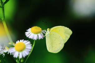 ヒメジョンと黄色い蝶の素材 [FYI00458840]