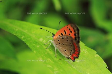ベニシジミ蝶の素材 [FYI00458847]