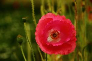 赤い花の素材 [FYI00458850]