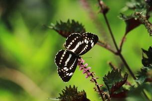 夏の蝶の素材 [FYI00458856]