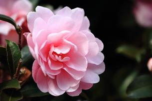 椿の花の素材 [FYI00458859]