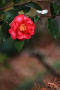 椿の花の素材 [FYI00458875]