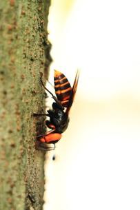 樹液を吸うスズメバチの写真素材 [FYI00458876]