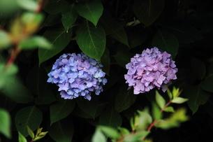 紫陽花の花の素材 [FYI00458891]