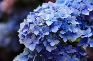 紫陽花の花の素材 [FYI00458892]