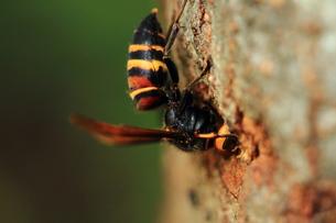 危険生物 スズメバチの写真素材 [FYI00458897]