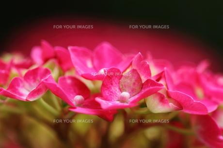 紫陽花の花の素材 [FYI00458900]
