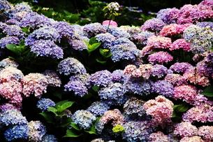 紫陽花の花の素材 [FYI00458901]