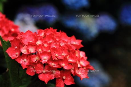 紫陽花の花の素材 [FYI00458902]