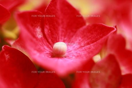 紫陽花の花の素材 [FYI00458903]