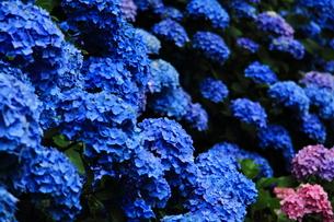 紫陽花の花の素材 [FYI00458913]