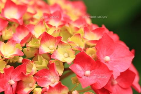 紫陽花の花の素材 [FYI00458918]