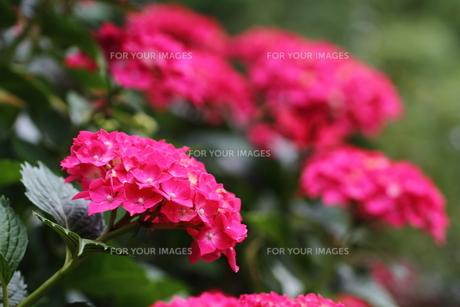 紫陽花の花の素材 [FYI00458920]