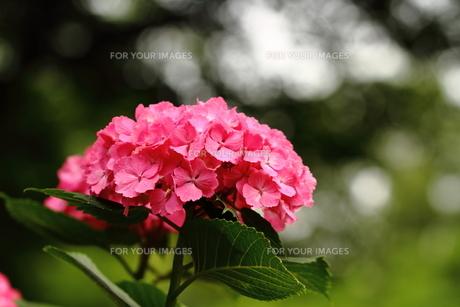 紫陽花の花の素材 [FYI00458924]