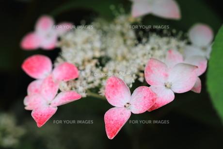 紫陽花の花の素材 [FYI00458931]