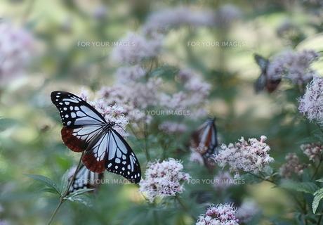 アサギマダラ蝶の素材 [FYI00459607]