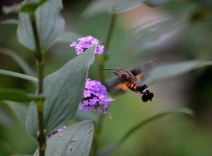 ハチドリのような昆虫の写真素材 [FYI00459640]