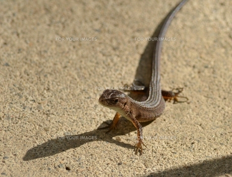 爬虫類:カナベビ1の写真素材 [FYI00459693]