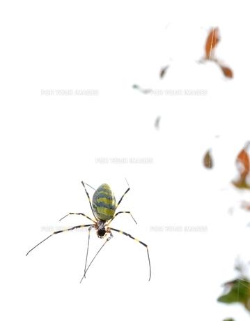 女郎蜘蛛8の写真素材 [FYI00459696]
